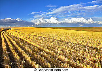 wheaten, montana, campos