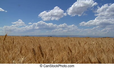 Wheatfield, blue skies, and puffy clouds