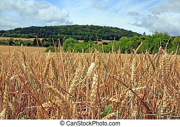 wheatfield in the French countryside, Burgundy France