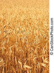Wheatfield in the sunshine - A field of ripe wheat on a...