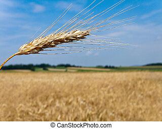 Wheatfield with barley spike in summer