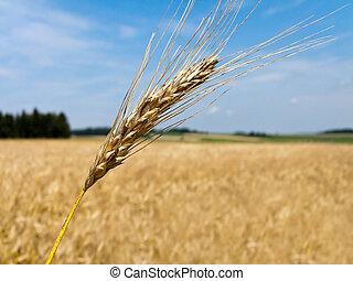 wheatfield with barley spike