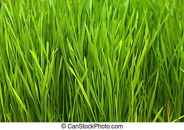 Close up shot of green wheatgrass