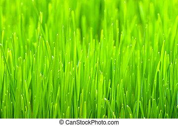 Close up shot of organic wheat grass