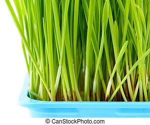 Wheatgrass close up