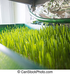 Wheatgrass growing - Growing wheatgrass the healthy super...