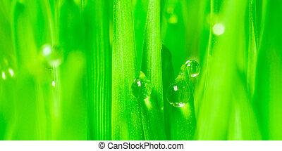wheatgrass, hojas, crecer, panorámico, rocío, microgreens