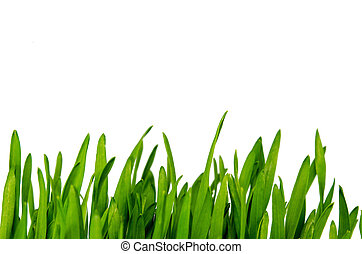 fresh green wheatgrass isolated on white background.