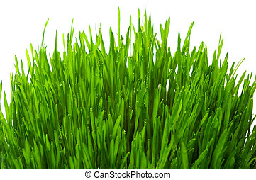 wheatgrass isolated - wheatgrass isolated on a white...