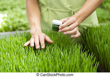 Superfood wheatgrass Smoothie and grass itself