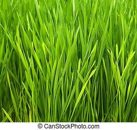 Wheatgrass - Freshly grown organic Wheatgrass ready to juice
