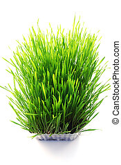 wheatgrass - green young sprouts of wheat with tears of dew