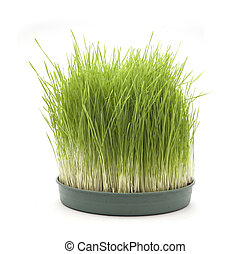wheatgrass isolated in white background