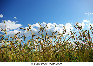 wheats, スパイク