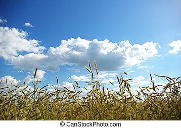 Wheats ears against the blue  sky
