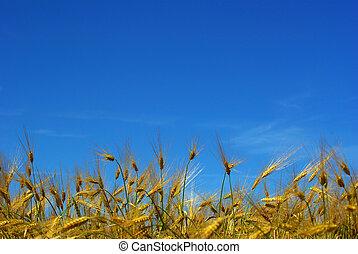 wheats field - Wheat ears against the blue  sky