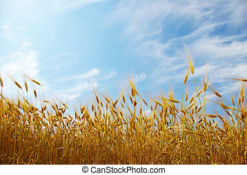 wheats field  - Wheats ears against the blue  sky