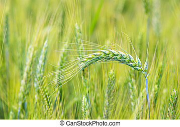 wheats - grain ready for harvest growing in a farm field
