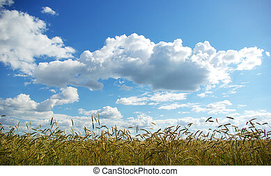 wheats on sky - Wheats ears against the blue  sky