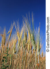 Wheats over blue sky close up - vertical