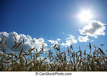 wheats spike - Wheats ears against the blue  sky