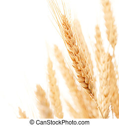 wheats - wheat ears against white background with copy space