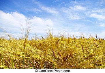 wheats  - Wheats ears against the blue  sky