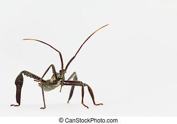 Wheel bug adult macro