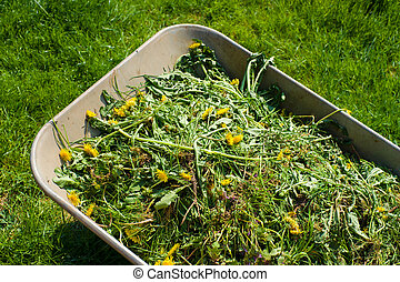 Wheelbarrow on lawn - Wheelbarrow filled with weed in garden