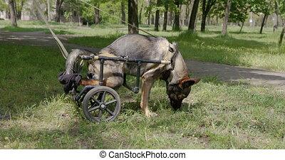 wheelchair., nogi, paraliżowany, łania, pies