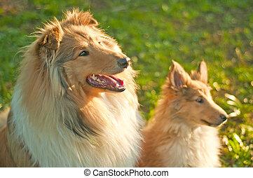 whelpe, collie, hunden, junger