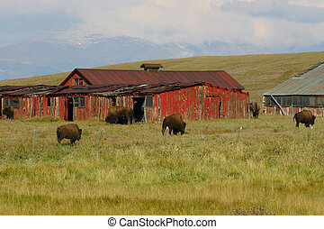 A herd of domestic bison, referred to as buffalo in the American West, roam through an abandoned ranch property in Park County, Colorado.