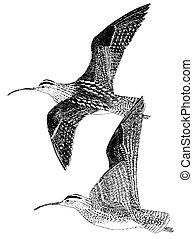 Whimbrel - Numenius phaeopus