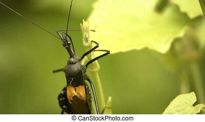 Whimsical black bug on a tropical plant. Thailand