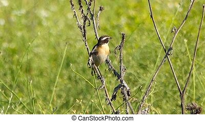 Whinchat sits on a dry flower and sings
