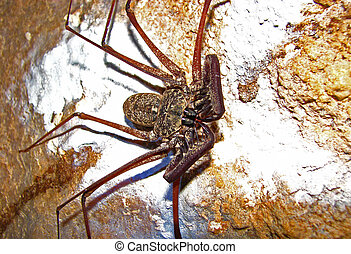 Whip scorpion on cave wall