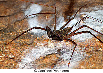 Whip Scorpion - Puerto Rico