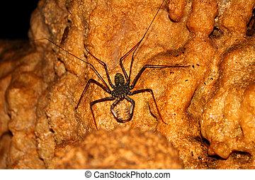 Whip Scorpion Puerto Rico Cave