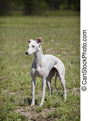 Whippet dog in a field. White wool.