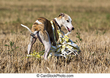 Whippet dog in field