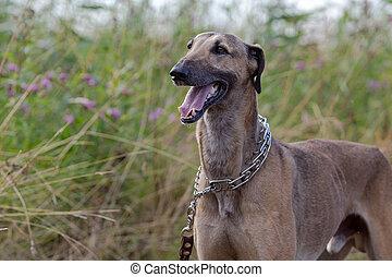 Whippet dog in high grass
