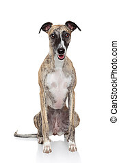Whippet dog on a white background