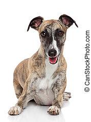 Whippet dog on white background