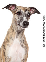 Whippet dog portrait on a white background