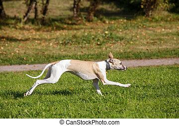 Whippet dog run in field