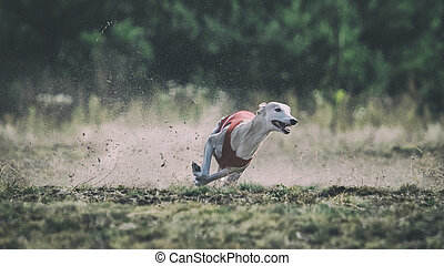 Whippet dog running. Coursing, passion and speed - Whippet...