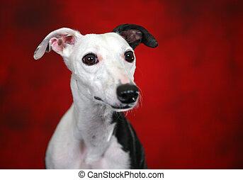 Studio Head Shot of a Whippet Dog
