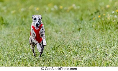 Whippet in red shirt running in the field on lure coursing competition