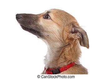 whippet, junger hund