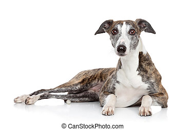 Young Whippet dog lying on a white background